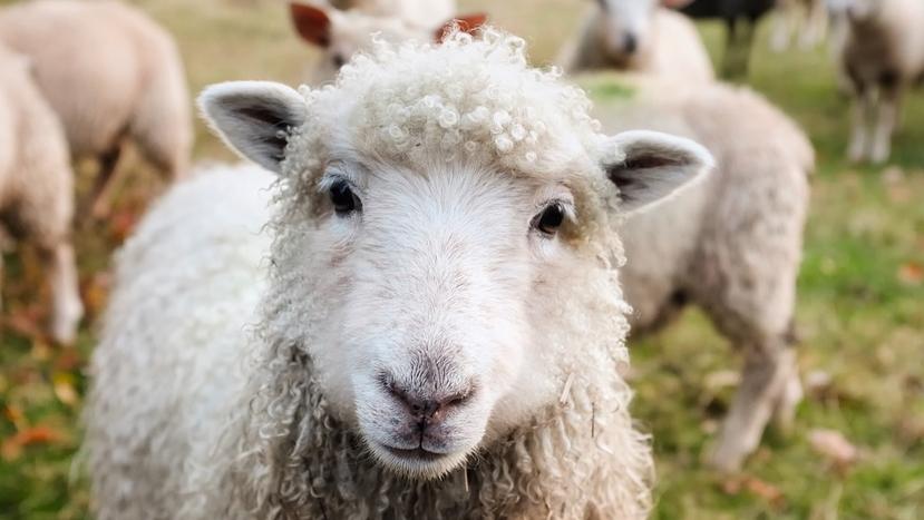 latte ovino pecorino sardo authentico soluzioni pecora pecore sarde formaggio pecorino romano